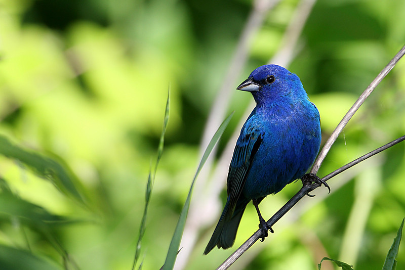 A male indigo bunting sits on a branch.
