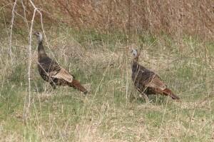 turkey_closeup_muohio