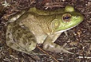 frog_Roth