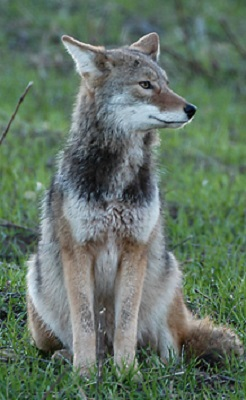 coyote_OHDNR