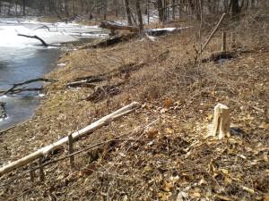 beavers3_MWF_2014.03.06