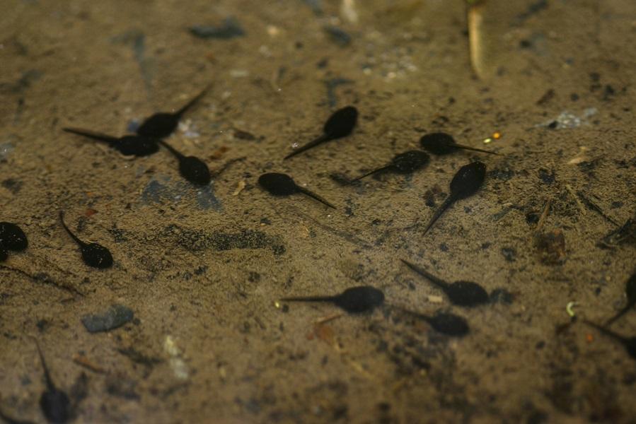 American Toad tadpoles (photo courtesy of Brian Gratwicke)