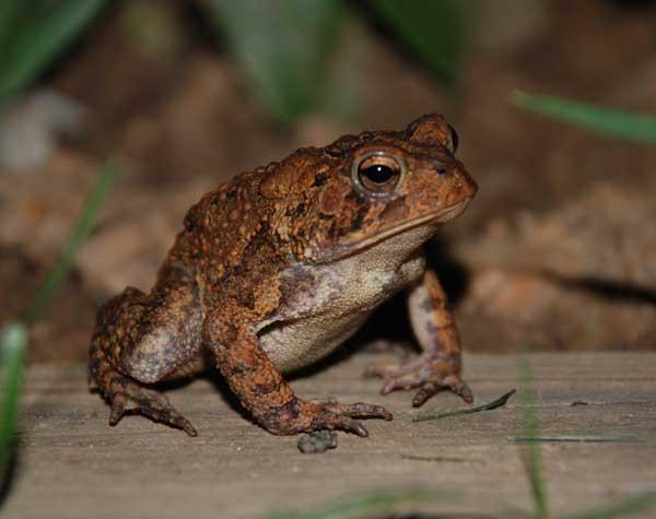 American Toad (photo by Jarek Tuszynski)