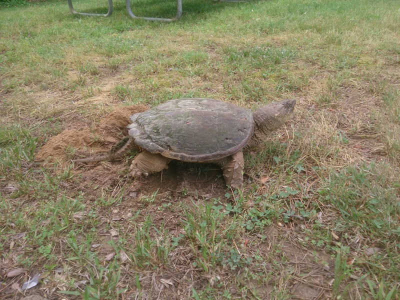 Snapping Turtle_MMF_2014.06_blog