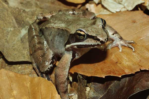 Wood Frog (photo by Michael Graziano)