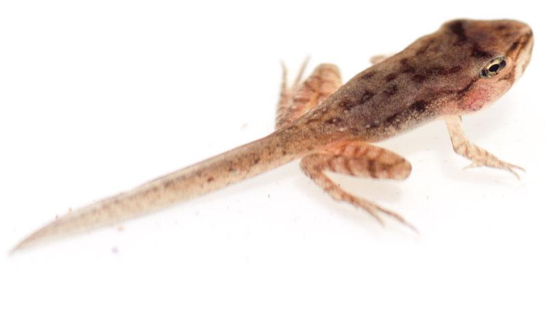 Wood frog tadpoles - photo#15