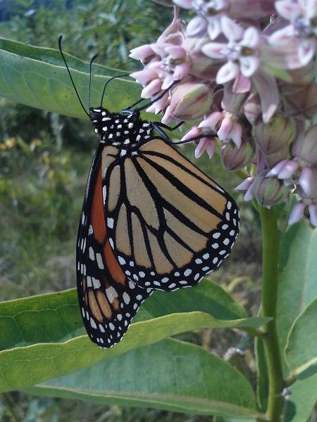 Monarch butterfly_Milkweed_LMGC_2014.07.31