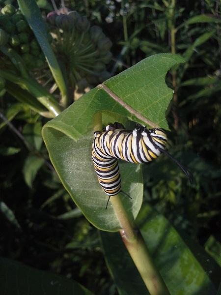 Monarch caterpillar_GG_2014.06.26