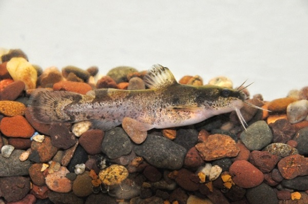 A brindled madtom, found in the eastern U.S, including Ohio. Unfortunately there were never any pictures of the Scioto madtom taken.