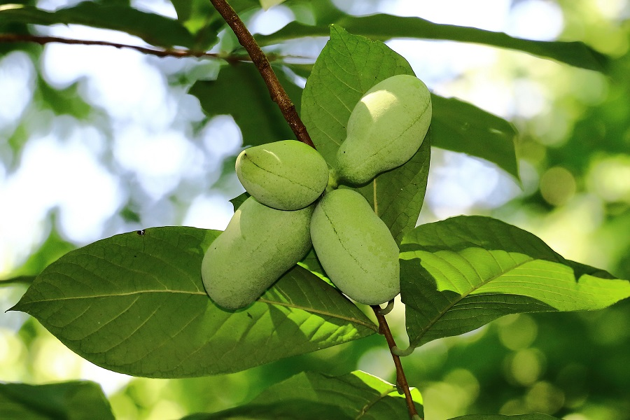 Four green pawpaw fruits growing on a branch with long, bright green leaves.