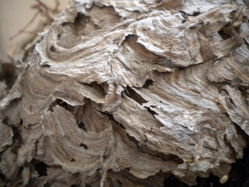 BaldFaced Hornet Nest_MWF (3)