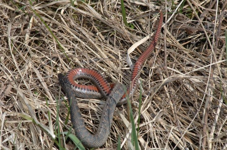 Kirtland Snake