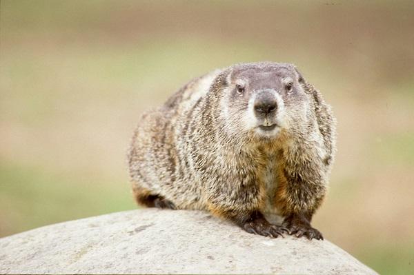groundhog_ODNR_600x400