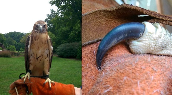 A red-tailed hawk & an up-close look at its talon