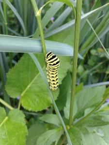 Black swallowtail larvae