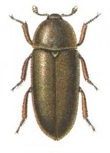 Dermestes.maculatus.Reitter