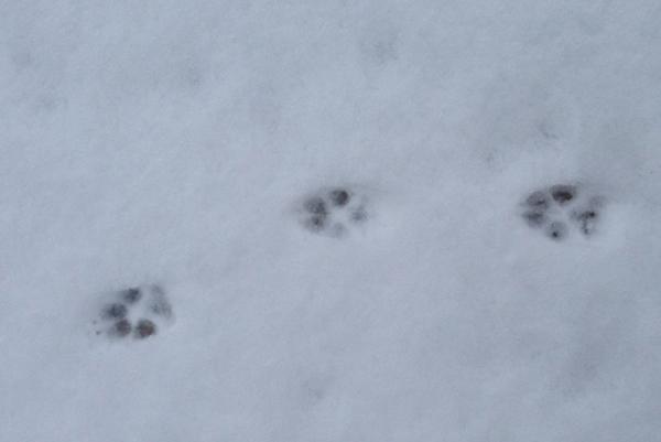 coyote prints