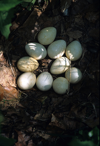 Wild turkey eggs (photo courtesy of ODNR)