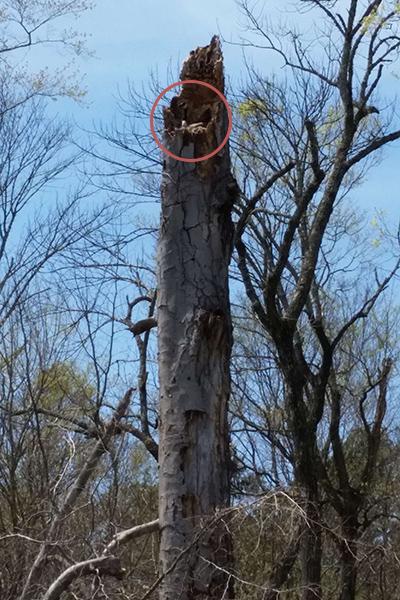Goose-nest-in-tree