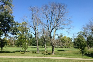 Trees affected by the emerald ash borer (EAB) can be seen along a Great Parks' golf course