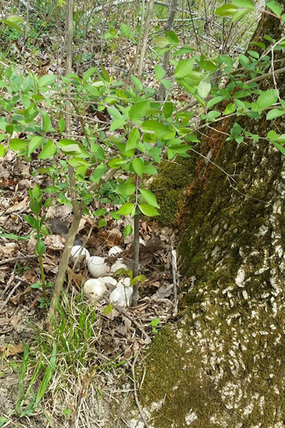 A turkey nest beneath a tree at Miami Whitewater Forest (Photo by Taylere)