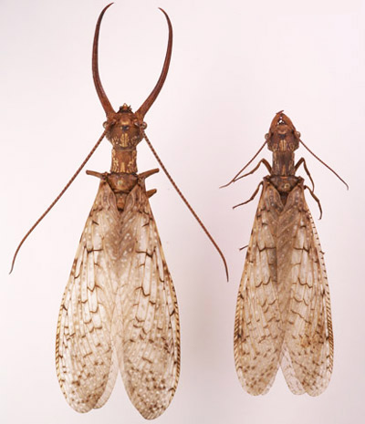 Male and female eastern dobsonflies, Corydalus cornutus (Linnaeus), showing differences in mandibles and antennae. Photo by Lyle J. Buss, University of Florida