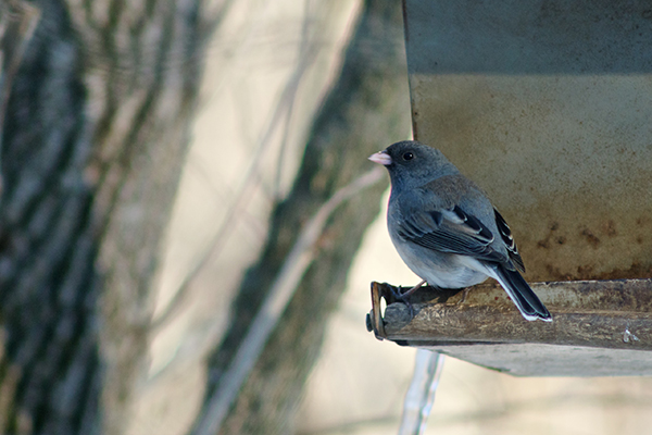 junco-sharon-wds-1-27-15
