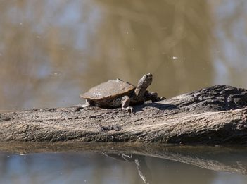 A Mississippi map turtle warms itself on a log
