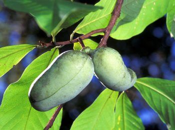 Two ripe pawpaws are ready to be picked from the tree.