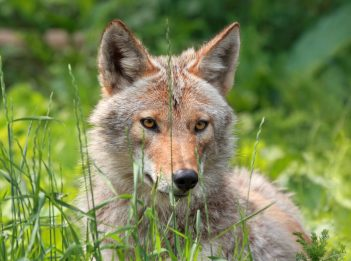 An eastern coyote sits in tall grass.