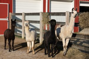 Alpacas and Llama at Parky's Farm