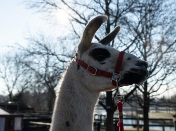 Yoshi the Llama