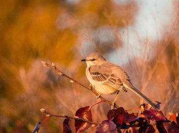 Mockingbird in fall
