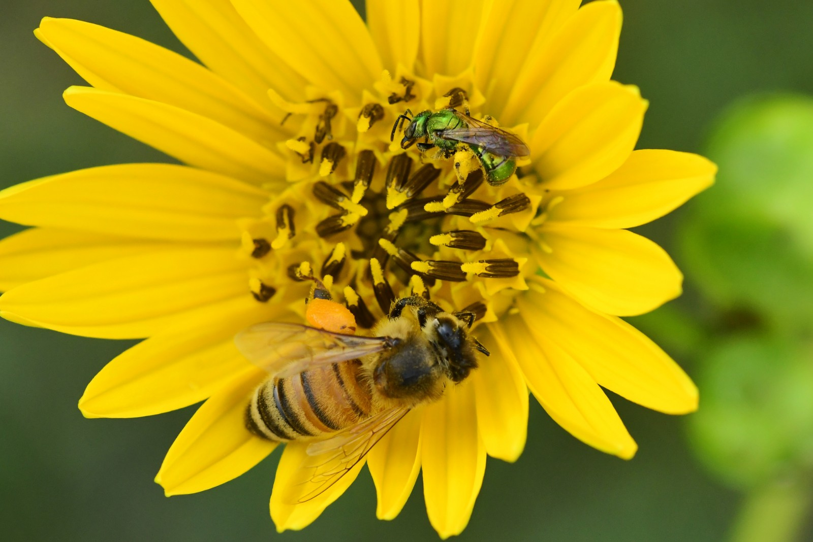 At the bottom, a bee pollinates a prairie dock (Silphium terebinthinaceum), a bright yellow flower. At the top of the prairie dock, a sweat bee rests.
