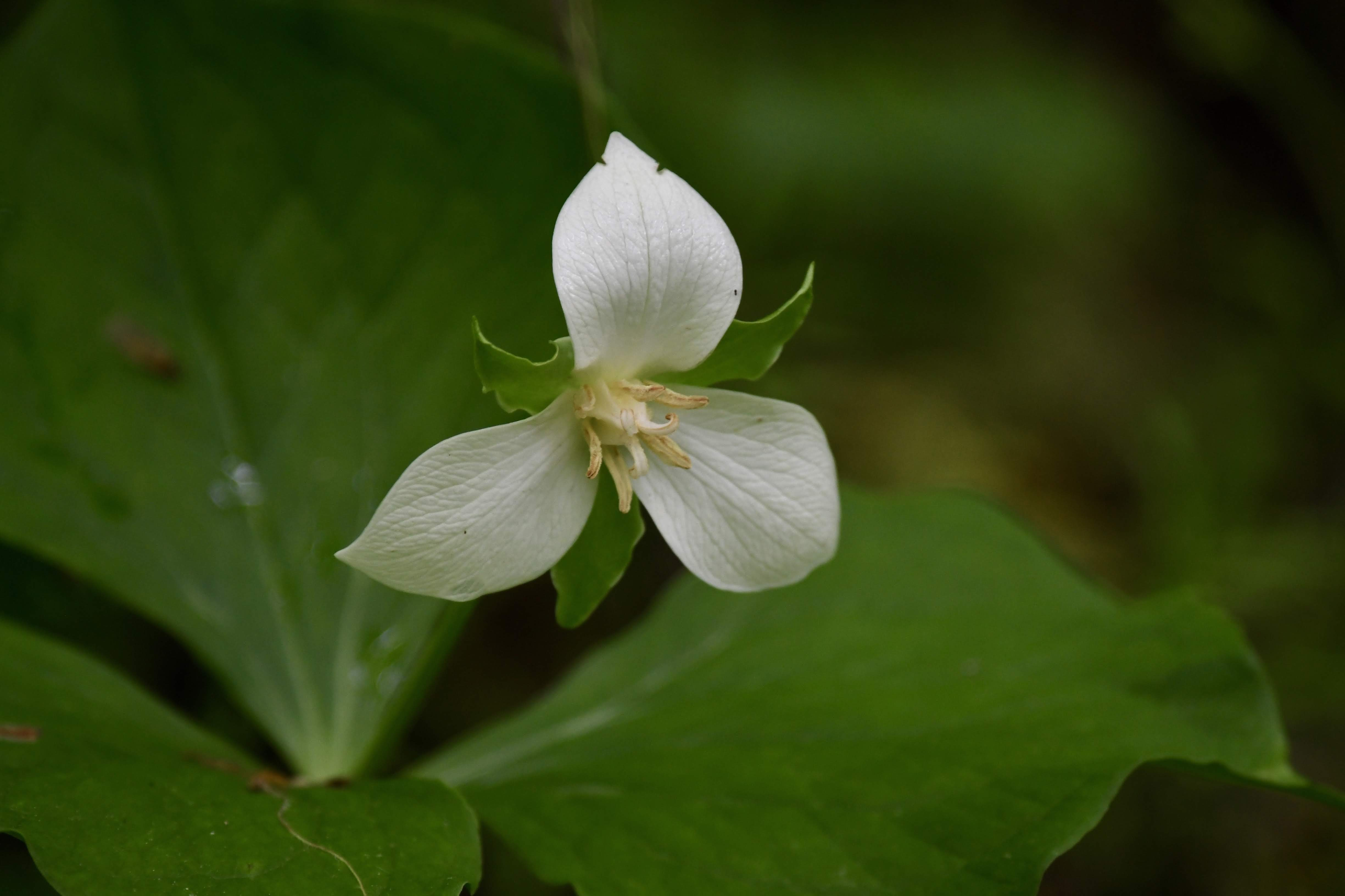 A newly bloomed drooping trillium (Trillium flexipes) shows off its eponymous petals.