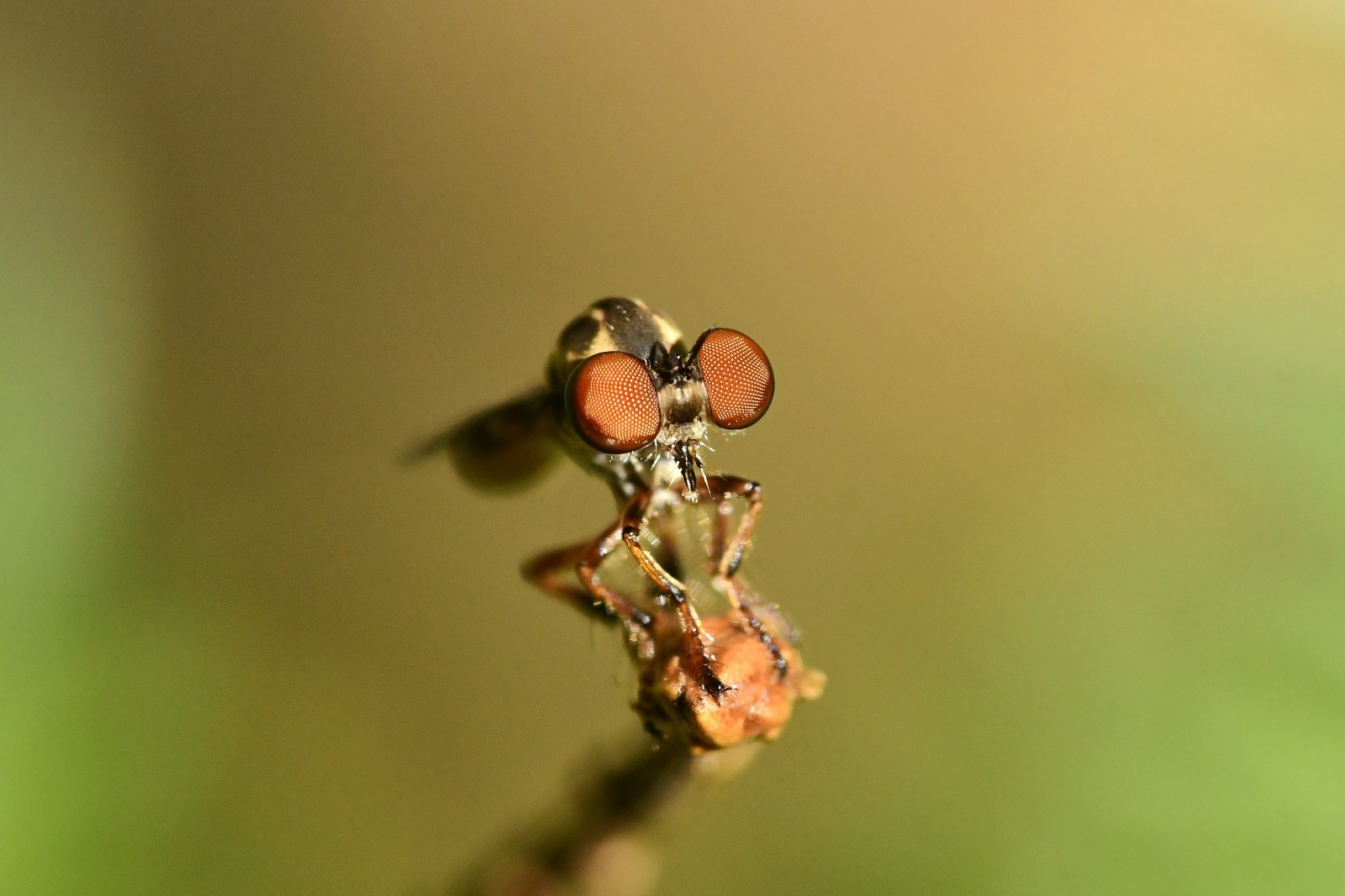 A gnat ogre fly (Genus: Holcocephala) poses on a flower stem.