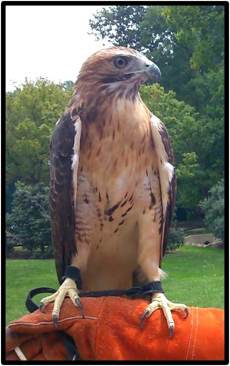 Gandalf, the red-tailed hawk (Buteo jamaicensis) sits on a nature interpreter's arm.