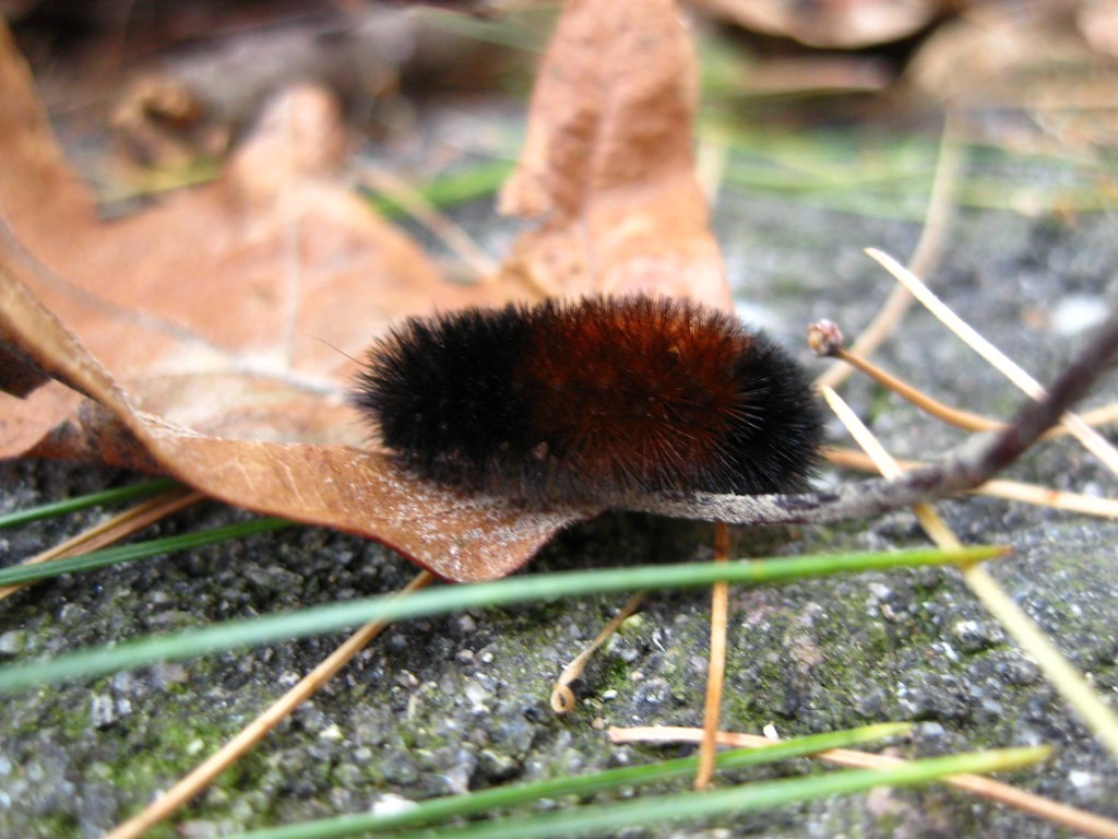 A banded woolly bear caterpillar (Isia isabella) travels across a fallen leaf at Sharon Woods.
