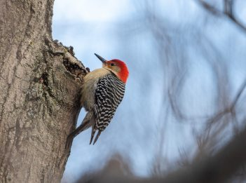 A red-bellied woodpecker rests against a tree on a sunny February day.