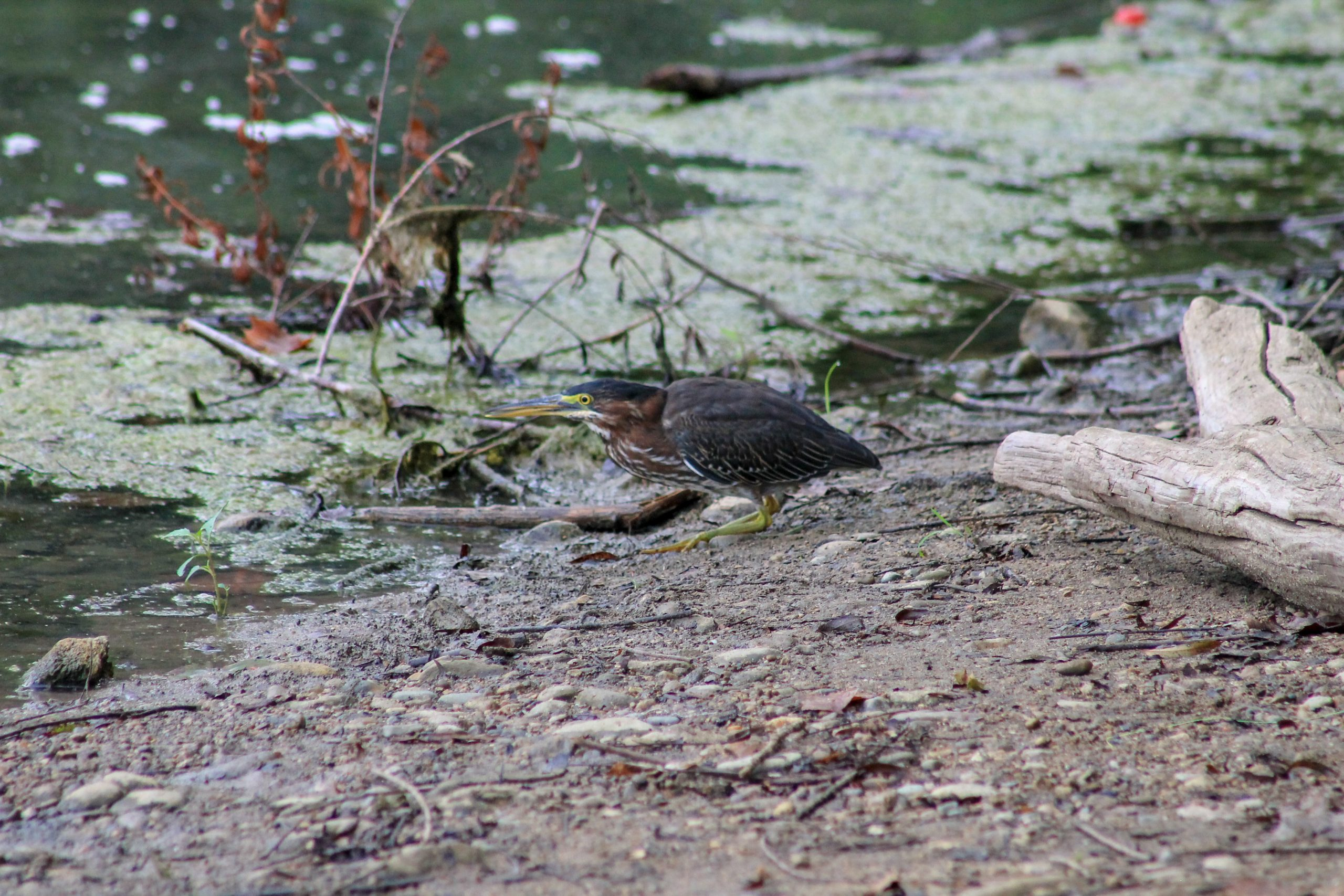 A green heron hunts on the shore of Northeast Lake at Campbell Lakes Preserve