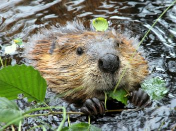 A beaver in a lake eats leaves from a vine.