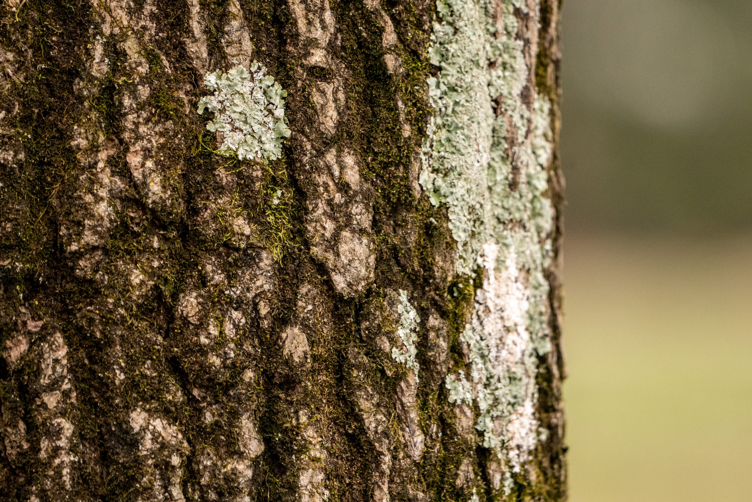 A close-up photo of the bark of a tree trunk. Some of the tree trunk is covered in moss.