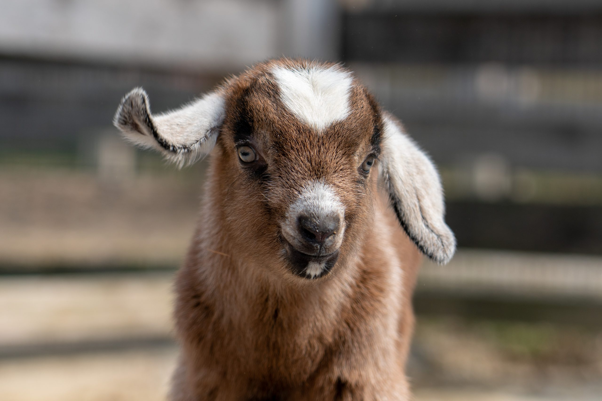 A baby goat kid.