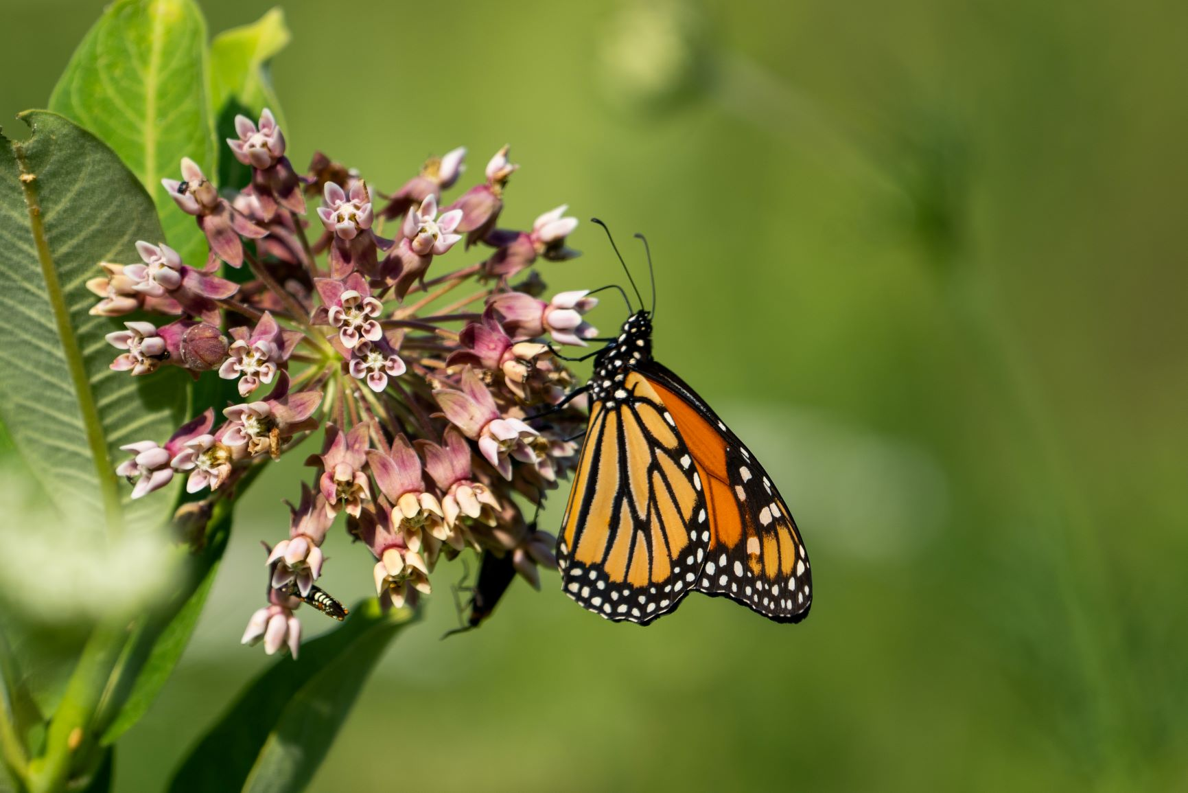 A monarch butterfly pollinates a milkweed plant.