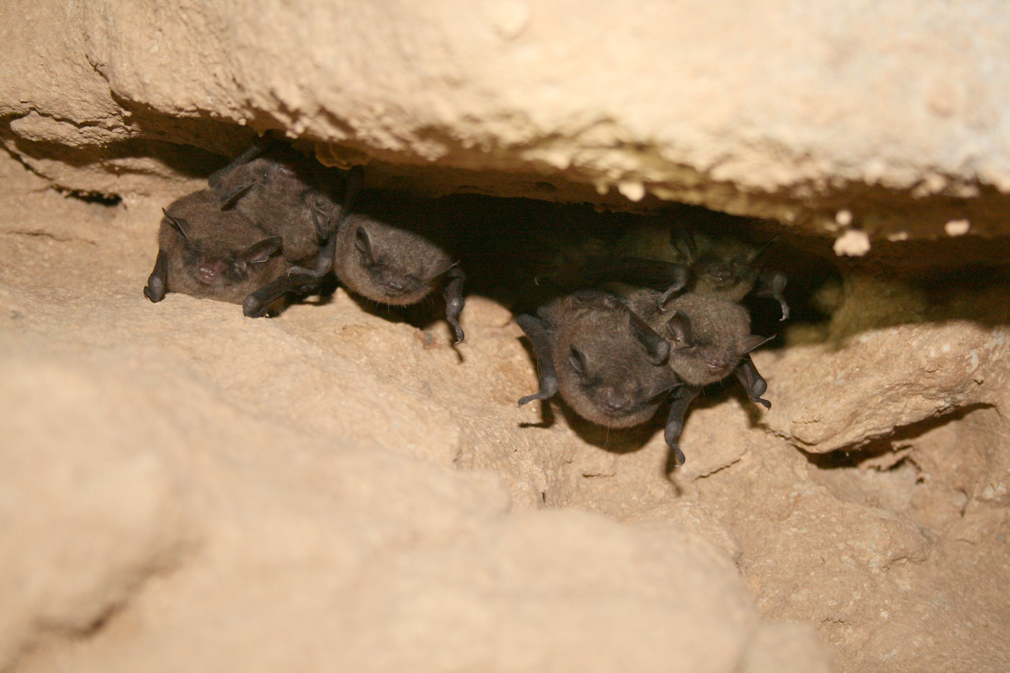 A group of Indiana bats are hibernating in a dark cave during winter months.
