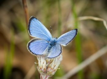 A Karner blue butterfly shows off the blue topside of its wings.