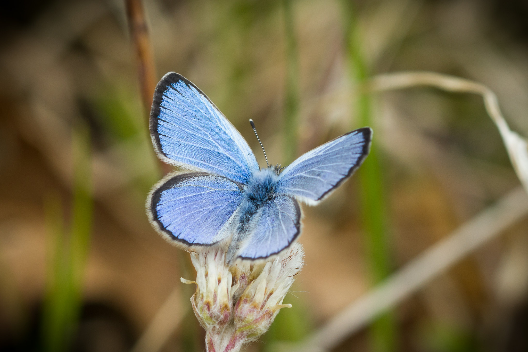 Karner blue butterfly (Lycaeides melissa samuelis) topside showing the dark blue topside of its wings. Photo courtesy flickr user Justin Meissen.