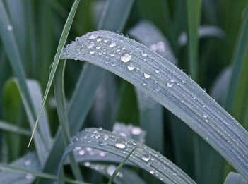 Dew droplets on blades of grass in the early morning