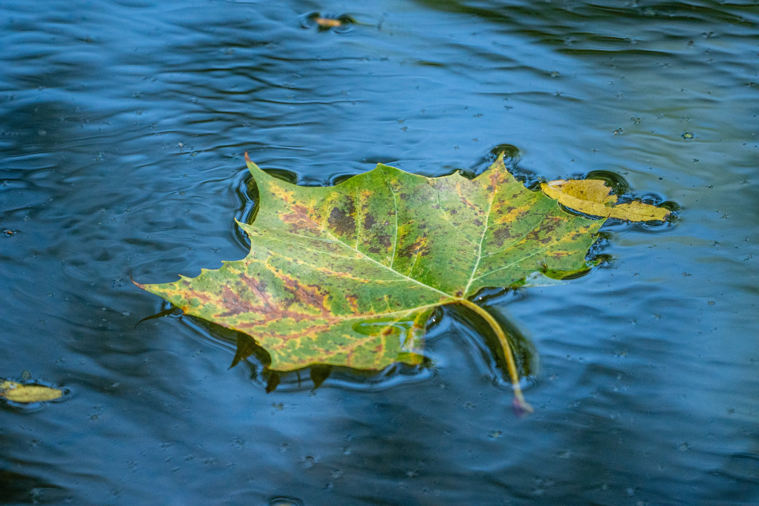 A large leaf, in the midst of changing from green to yellow, floats atop water.