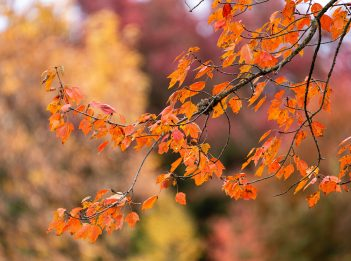 Orange leaves on tree branches